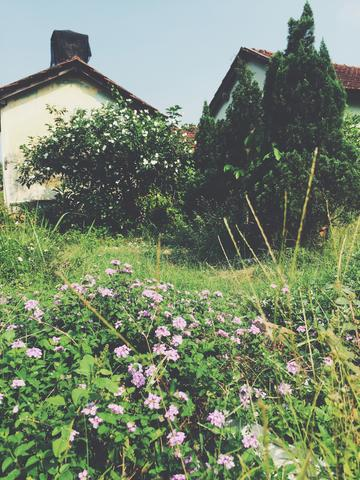 Image of old houses behind some beautiful flower bushes